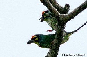 Coppersmith Barbet courtship - mating Copulation