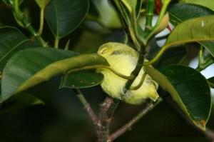 Juvenile Common Iora  - just fledged