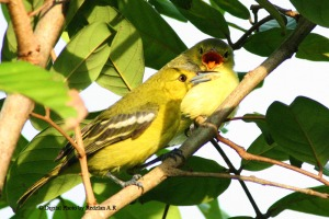 Common Iora - feeding her chick