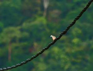 Zebra Dove on the electric cable