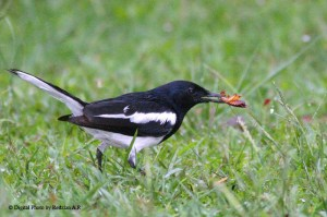 Magpie and American Cockroach