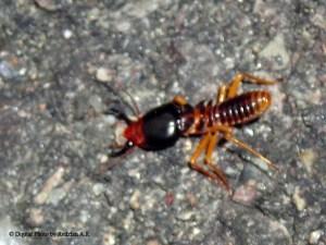 A Wingless Termite Soldier