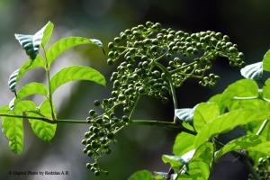 Wild Fruits at Bukit Rengit Figs