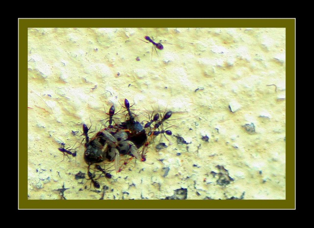 Ants at work, carrying dead lipas