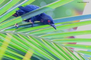 Asian Glossy Starling (Aplonis panayensis) at Coconut Leaves