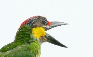 Gold-Whiskerd Barbet singing Happy Eid Ul Fitr from Malaysia