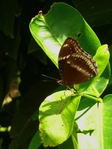 Male Blue Moon Butterfly on the jambu leaf