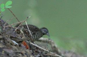 Slaty-breasted Rail (Rallus striatus)