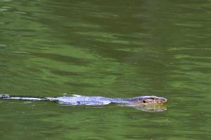 Biawak Air Water monitor Lizard (Varanus salvator)