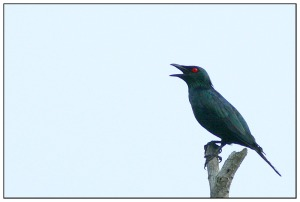 The singing Asian Glossy Starling at Raub Malaysia