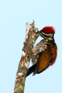 Common Flameback Woodpecker's Tongue with tongue protruding