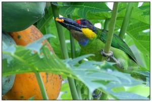 Gold-whiskered Barbet eating ripe Papaya at Temerloh Malaysia