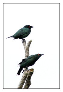 Two Starling resting at dead branch at My Backyard in Raub malaysia