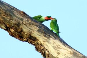 Long-tailed Parakeet (Psittacula longicauda)Mating at Temerloh Malaysia