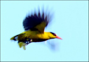 Black-naped Oriole image croped and size adjusted