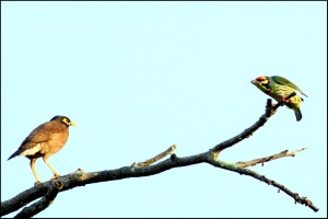Coppersmith Barbet (Megalaima haemacephala)fight with Common Myna (Acridotheres tristis)