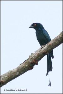 Racquet-tailed Drongo Cecawi Hamba Kera another new bird at my backyard in Raub Malaysia
