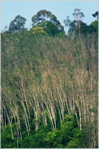 Leafless trees at a forest in Raub Malaysia - Skywatch Friday  Forest at Raub Malaysia