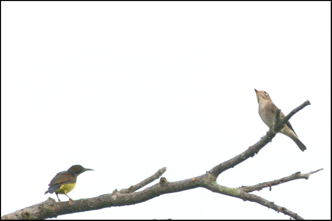 Asian Brown Flycatcher try to make friend with Brown-throated Sunbird at Raub Malaysia