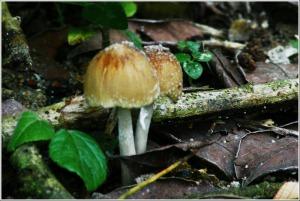Cendawan Mushroom