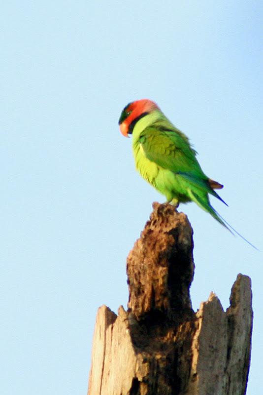 Long-tailed Parakeet (Psittacula longicauda)Male at Temerloh Malaysia