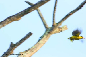 The original bird picture Oriole jumping from dead branch