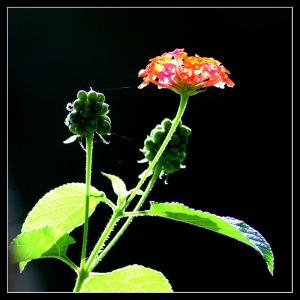 Bunga Tahi Ayam Lantana camara