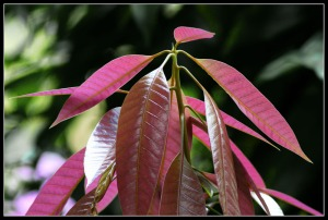 Young Mangoes' Leaves