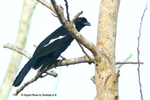 Black Magpie (Platysmurus leucopterus)Burung Kambing