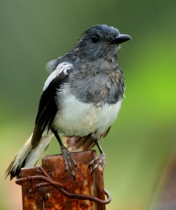 Wet Female Oriental Magpie Robin at Backyard in Raub Malaysia