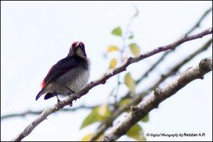 Scarlet-backed Flowerpecker (Dicaeum cruentatum)