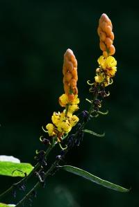 Bunga Gelenggang Cassia alata