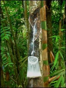 Pará rubber tree (Hevea brasiliensis),