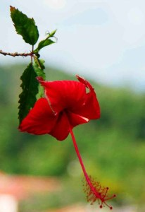 Habiscus Malaysia National Flower