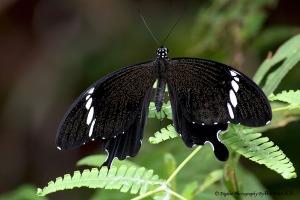 Papilio nephelus sunatus