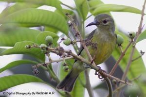 Brown-throated Sunbird (Anthreptes malaccensis) Female