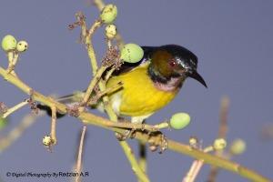 Brown-throated Sunbird (Anthreptes malaccensis)