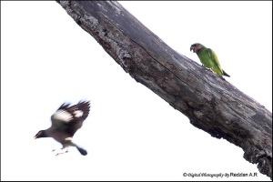 Parakeet and Myna