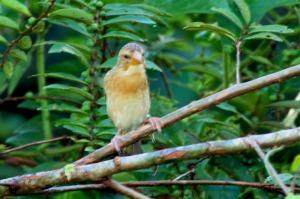 Ciak Tempua Baya Weaver (Ploceus philippinus)