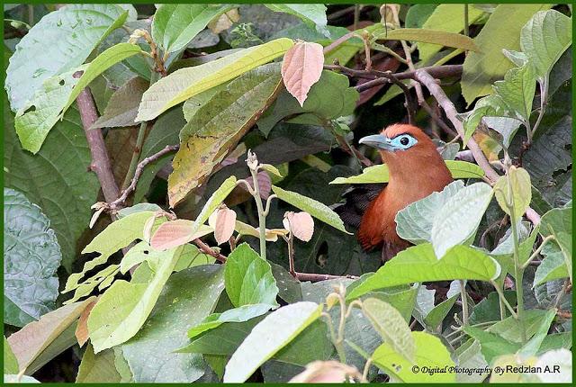 Raffles's Malkoha (Phaenicophaeus chlorophaeus)