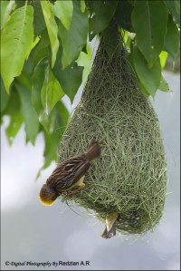 Baya Weaver pair at nest