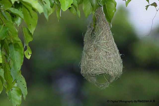 Sarang Ciak Tempua Baya Weaver Nest