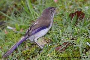 Blue-winged Minla (Minla cyanouroptera)
