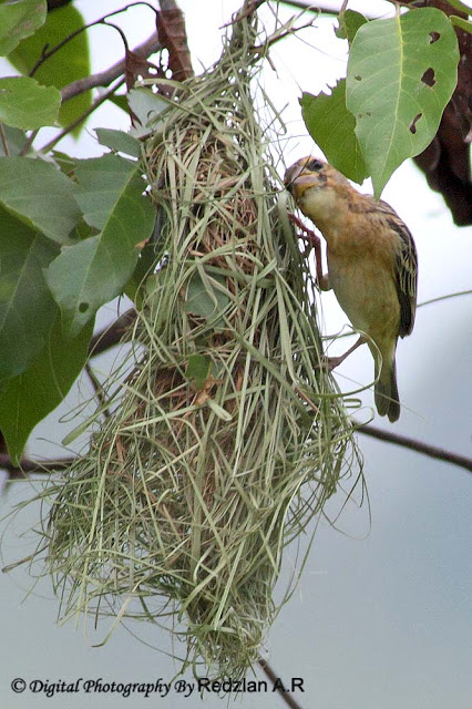 Female Baya Weaver weaving the nest