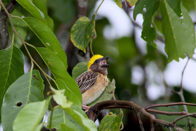 Baya Weaver male singing