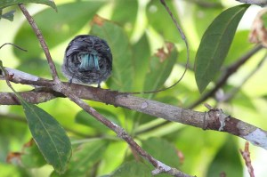 Verditer Flycatcher (Eumyias thalassina)