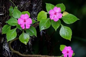 Flowers at Fraser's Hill,Pink balsam (Impatiens sp.)