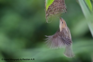 Baya Weaver entering the nest