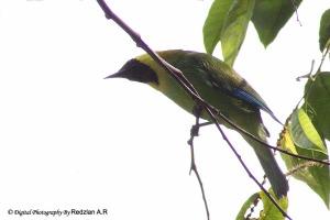 Blue-winged Leafbird (Chloropsis cochinchinensis)