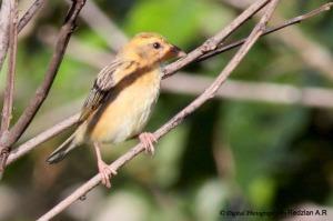 Female Baya Weaver